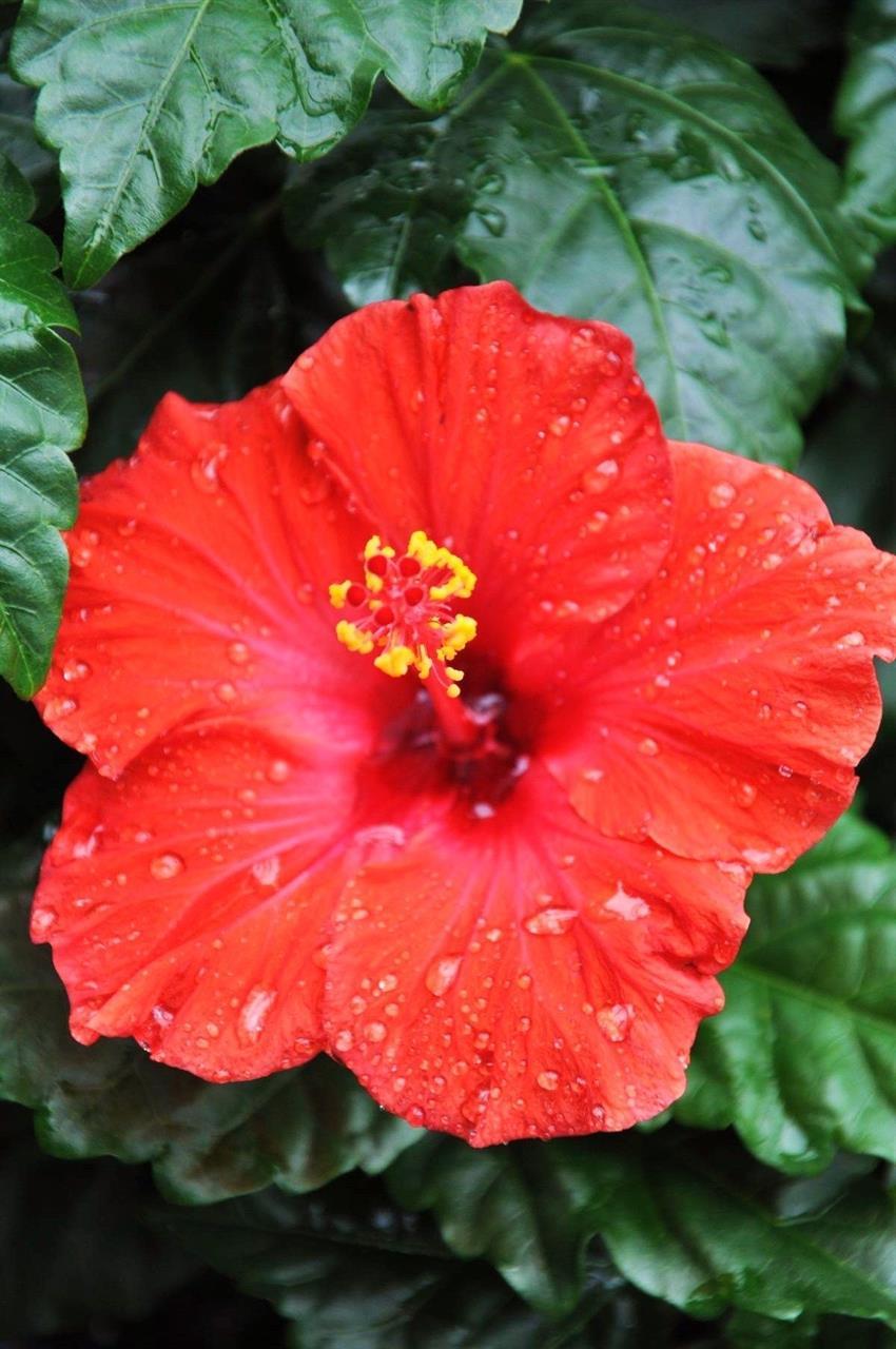 Hibiskus (Chinesische Rose) Restposten verschie...