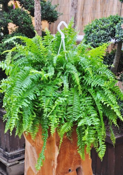 Farn (Schwertfarn) Green Lady Ampel
