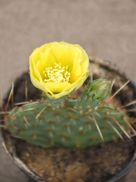 Kaktus (winterhart) mit gelber Blüte