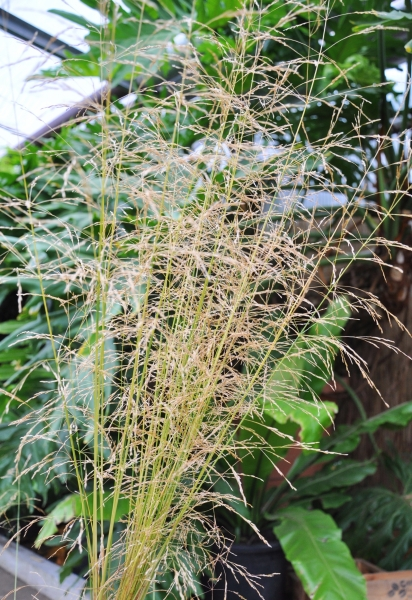 Rasen-Schmiele (Goldtau)