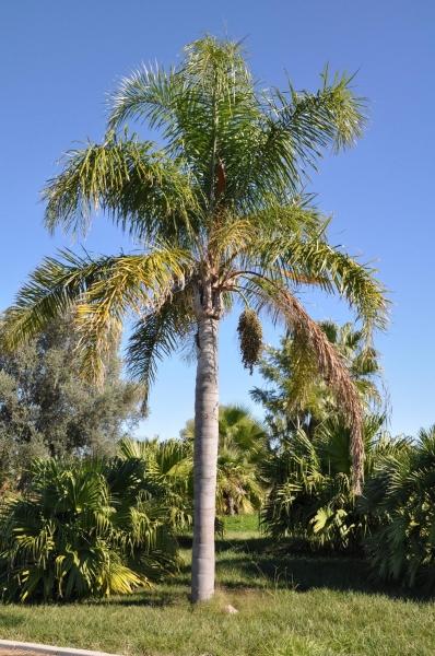 Königinnenpalme (Romanzoffianische Kokospalme)