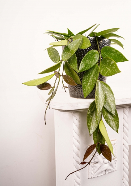 Wachsblume (Porzellanblume) gracilis