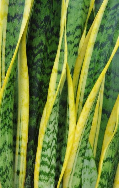 Sansevieria (Bogenhanf) Laurentii
