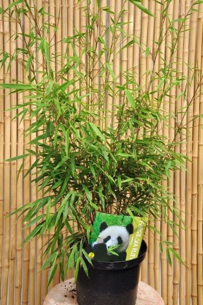 Bambus (Heckenbambus Rufa) 10 Liter