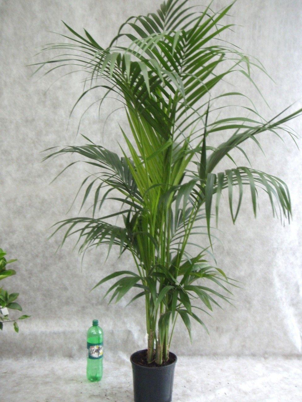 Kentia palme 4 5er tuff palmen pflanzen der palmenmann - Zimmerpflanze palme ...