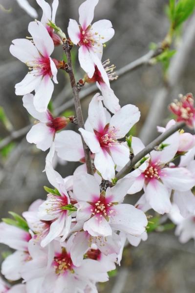 Mandelbaum (Süße Mandel)
