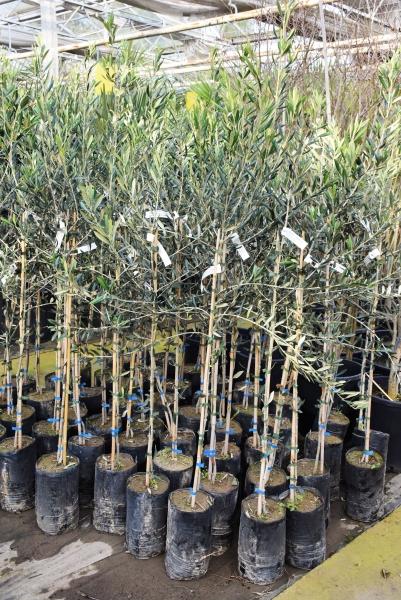 Olivenbaum (Ascolana) frostverträglich