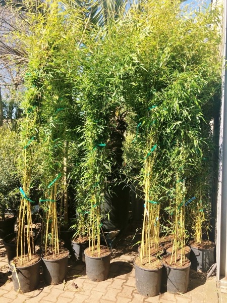 Bambus (Spectabilis)
