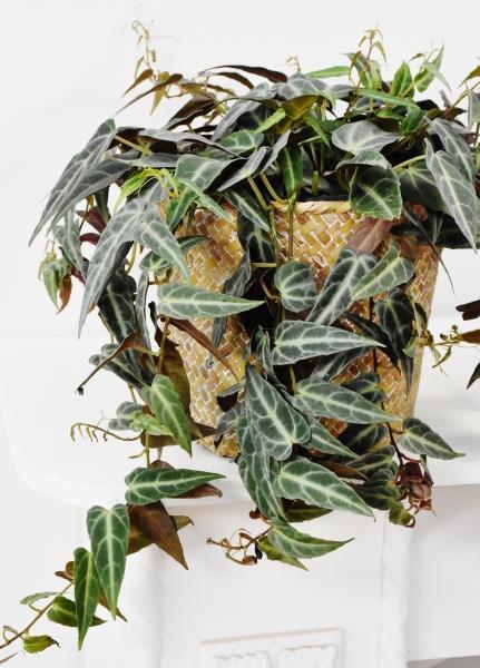 Amazonischer Wein (Cissus amazonica) Ampel
