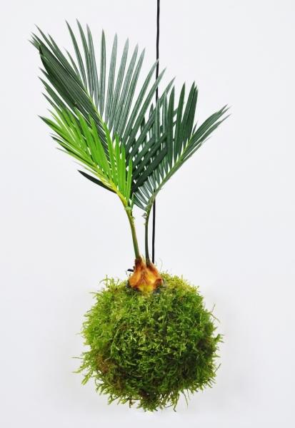 Kokedama (Moosball) Palmfarn