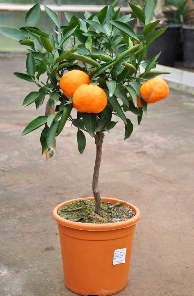 Mandarinenbaum (Satsuma Myagawa)