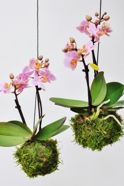 Kokedama (Moosball) rosa Orchidee