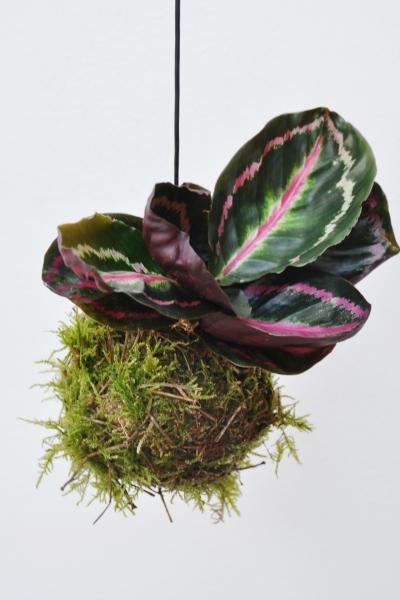 Kokedama (Moosball) Korbmarante Roseopicta