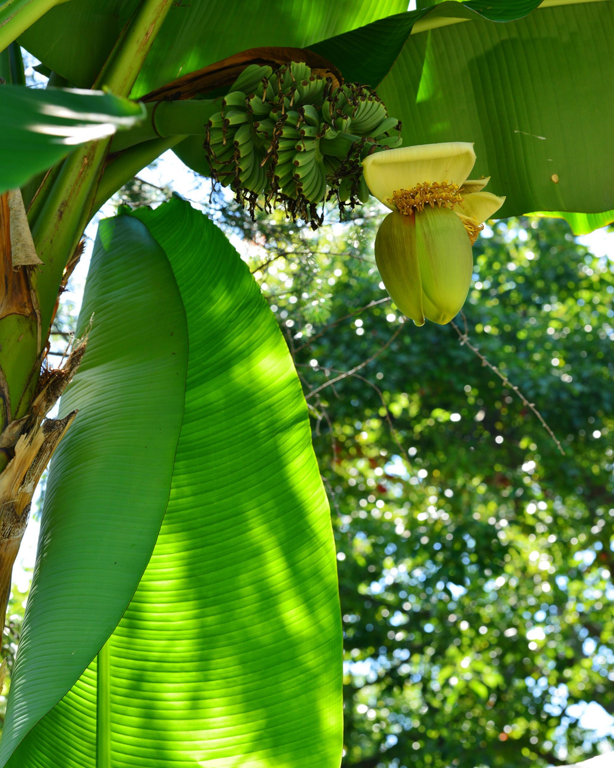 Prächtig Die Bananenstaude: Musa basjoo pflegen und überwintern | Der #XX_47