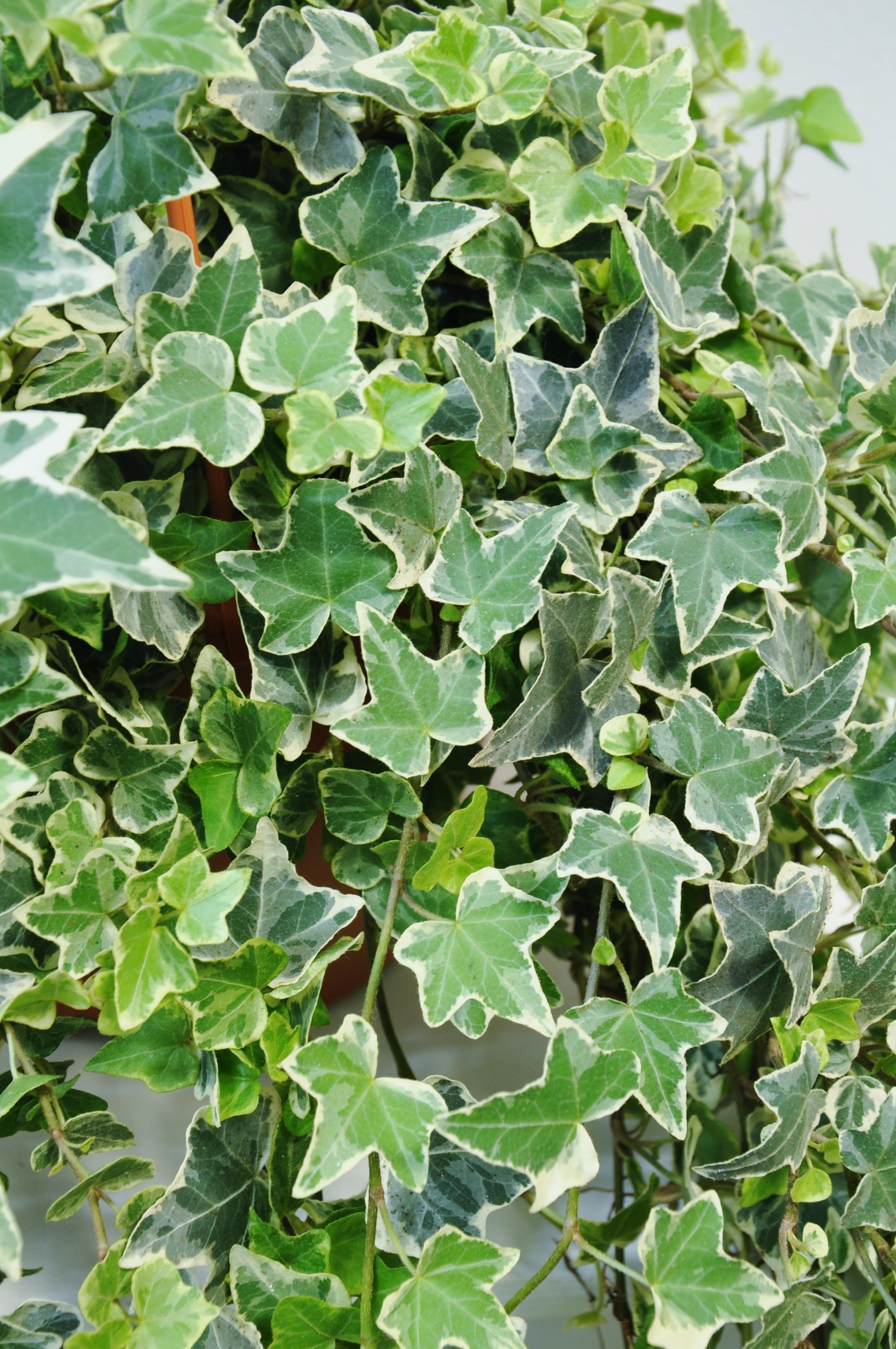 Vielseitiger, weiß-grüner Efeu für Haus und Garten