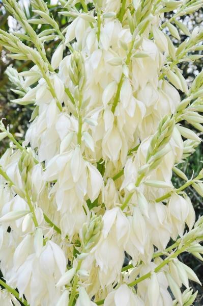Blaue Yucca (Blaue Palmlilie)
