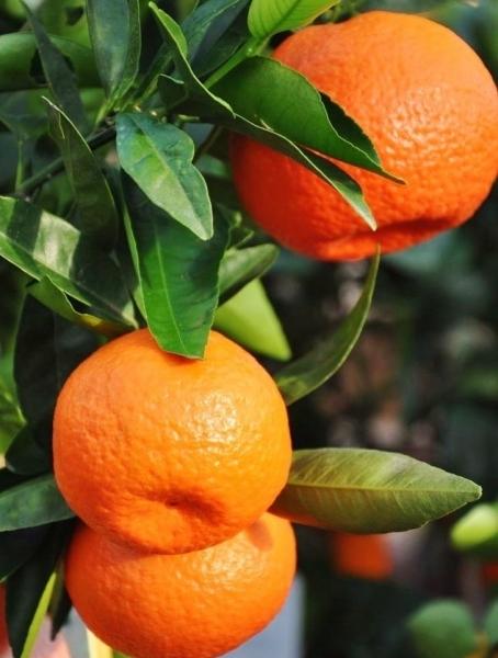 Italienischer Klementinenbaum