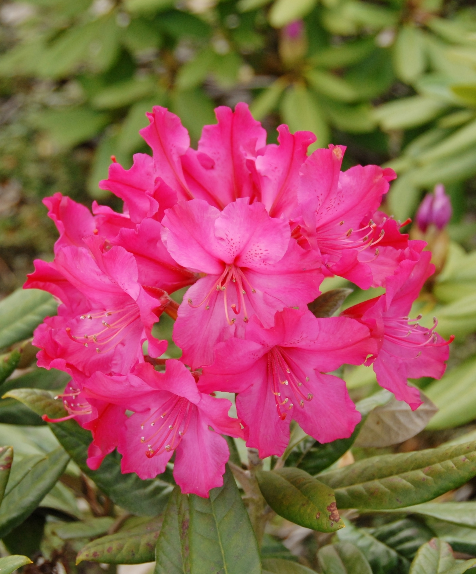 rhododendron hybride weinlese angebote der palmenmann. Black Bedroom Furniture Sets. Home Design Ideas