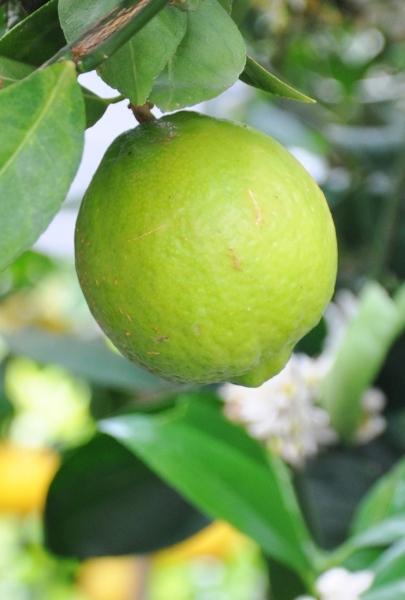 Limettenbaum (Mexikanische Limette) Lime