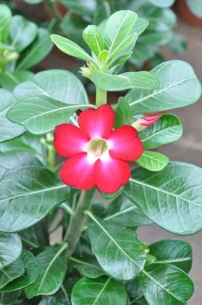 Wüstenrose - Adenium