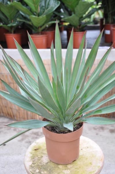 Yucca (Kerzen-Palmlilie)