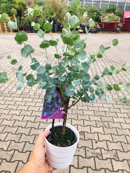 Eukalyptus Azura (Blaugummibaum) Stämmchen