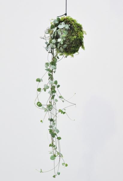Kokedama (Moosball) Leuchterblume