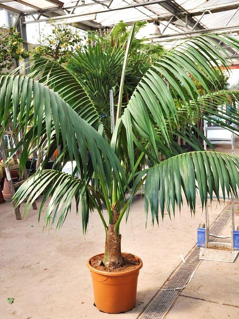 kentia palme b ropflanzen themenwelt der palmenmann. Black Bedroom Furniture Sets. Home Design Ideas
