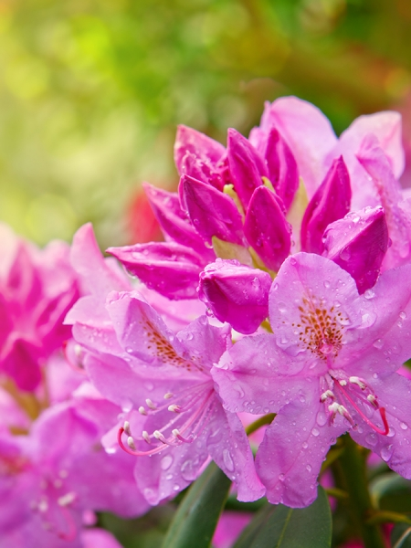 Blog_Rhododendron