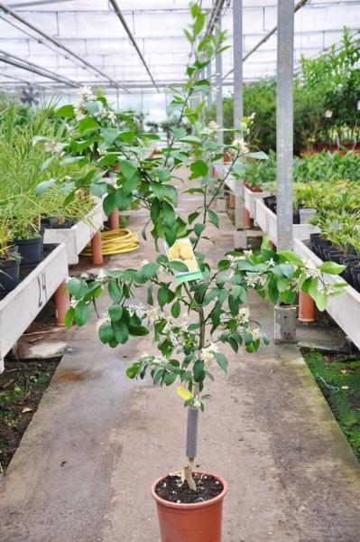 Zitronenbaum (Meyers Zitrone) aus Spanien