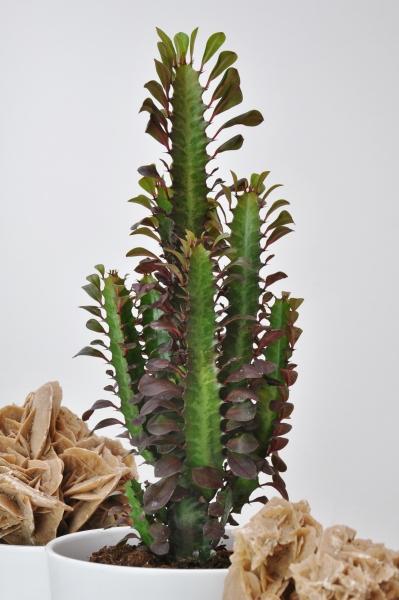 Wolfsmilch (Euphorbia) rot
