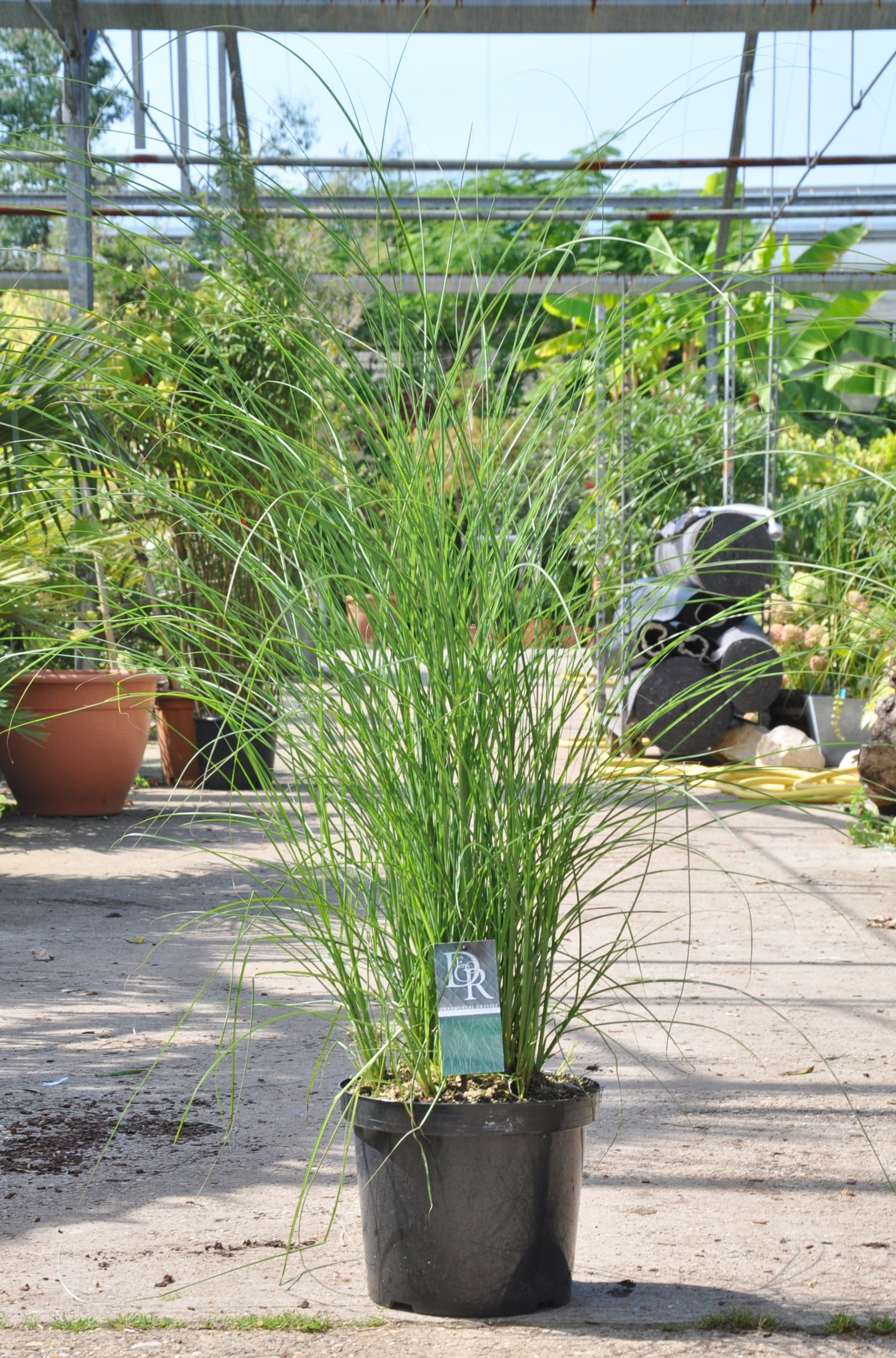 feinhalmchinaschilf gras miscanthus sinensis gracillimus. Black Bedroom Furniture Sets. Home Design Ideas