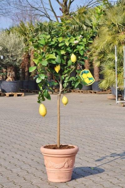 Echter Zitronenbaum aus Italien