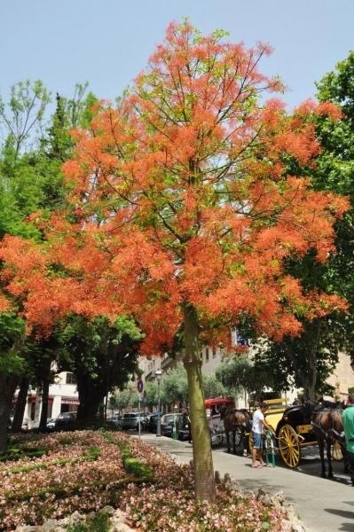 Australischer Flammenbaum (Glücksbaum)
