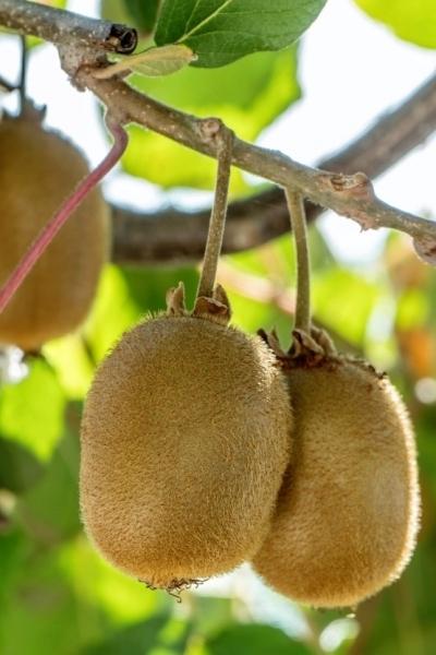 Kiwi (Jenny) selbstbefruchtend
