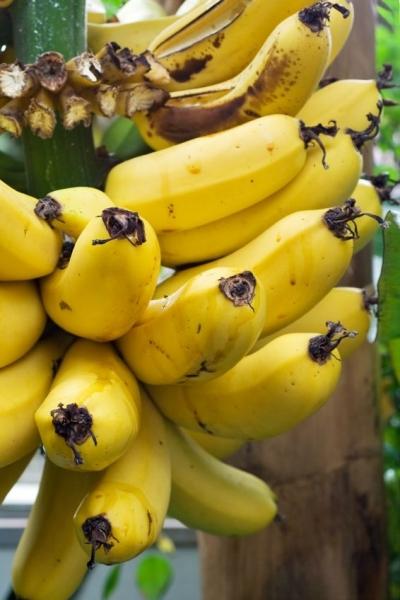 Bananenstaude (Dessertbanane, Zuchtbanane)