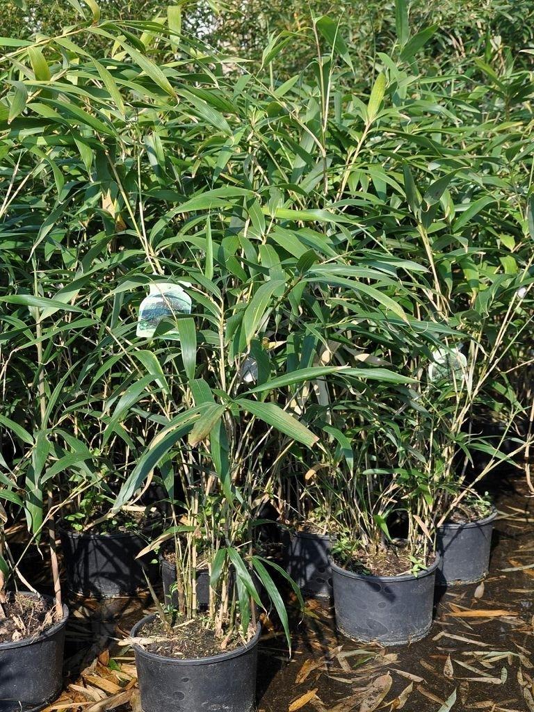 bambus metake 5 liter bambus pflanzen der palmenmann. Black Bedroom Furniture Sets. Home Design Ideas