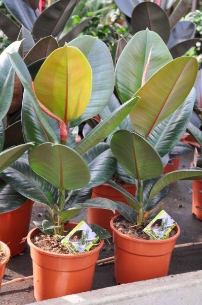 Ficus (Gummibaum) Robusta