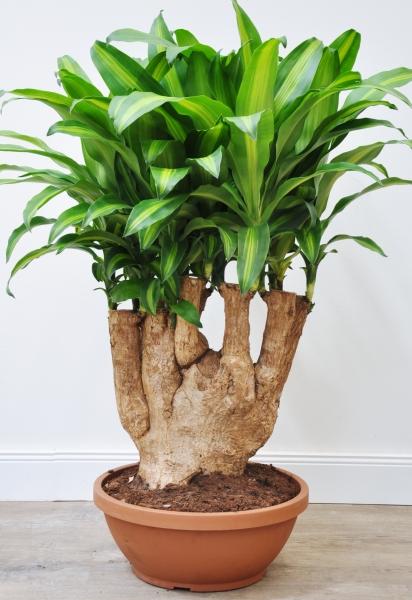 Drachenbaum (Massangeana) verzweigt