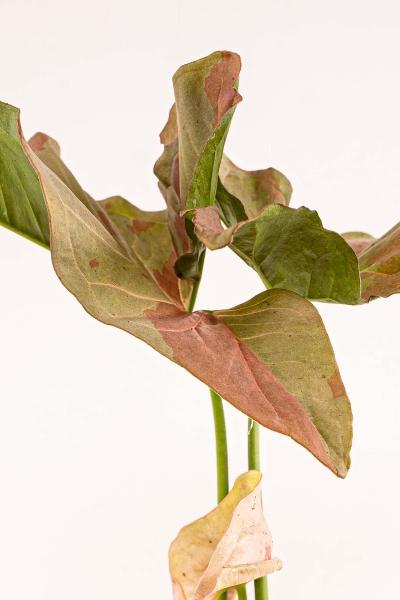 Steckling Syngonium pink spot