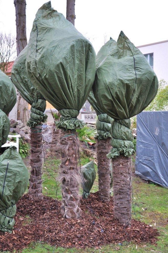winterschutz f r palmen blog der palmenmann