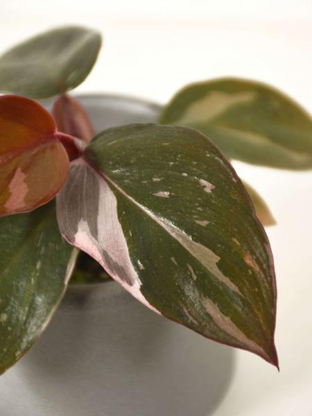 Mini Philodendron pink princess