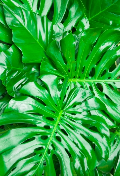 Blog_Monstera_Philodendron