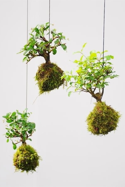 kokedama bonsai moosball kokedamas pflanzen der palmenmann. Black Bedroom Furniture Sets. Home Design Ideas