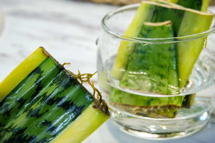 AdobeStock_267888571_Sansevieria-that-is-being-propagated-in-a-glass-full-of-water_TippyTortue_tiny_750