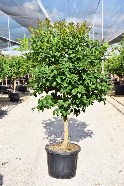 Zitronenbaum aus Spanien Sorte Eureka