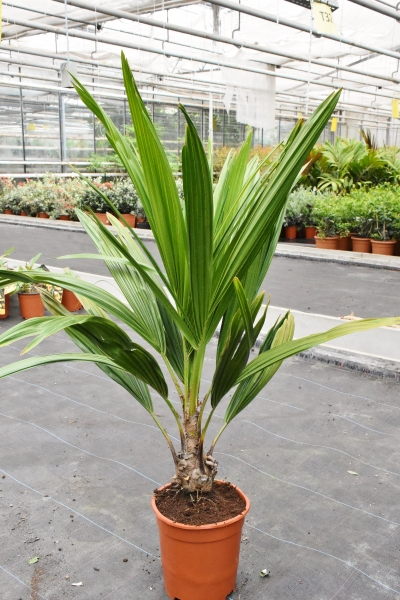 Arikury-Palme (Syagrus schyzophylla)