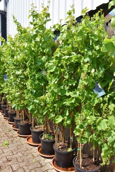 Weinrebe (Trifrutto) 3 Sorten: Grün, Blau, Rot in einem Topf