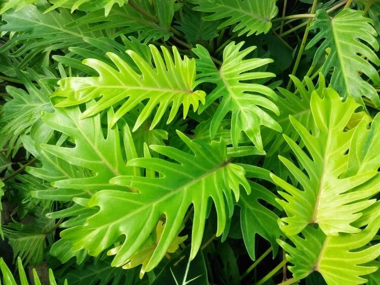 shutterstock_1006665346_Philodendron-xanadu_Kira-Immordino
