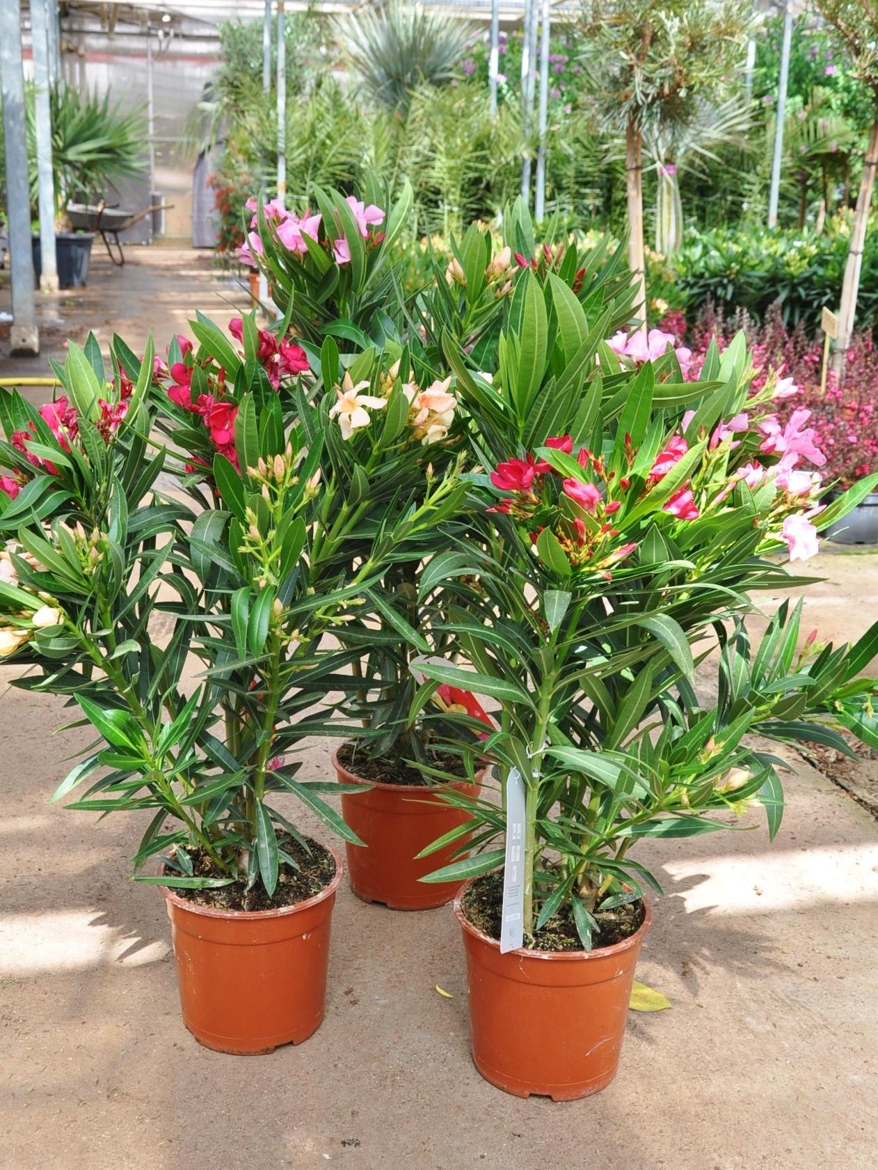 oleander tricolor 3 farben sonstige geh lze geh lze. Black Bedroom Furniture Sets. Home Design Ideas